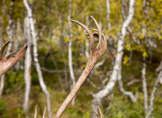forked antlers